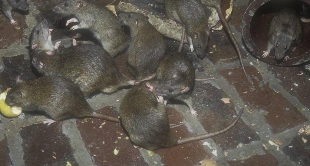 уничтожение крыс в Старом Осколе